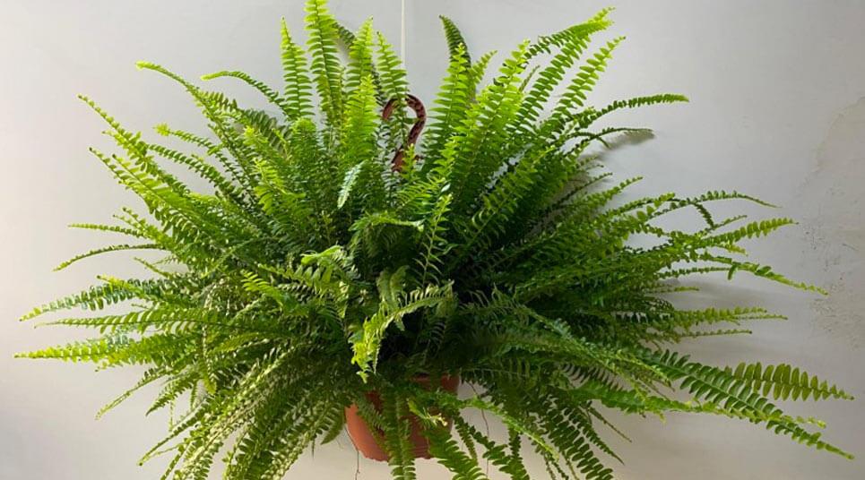 Nephrolepis Montana planta2