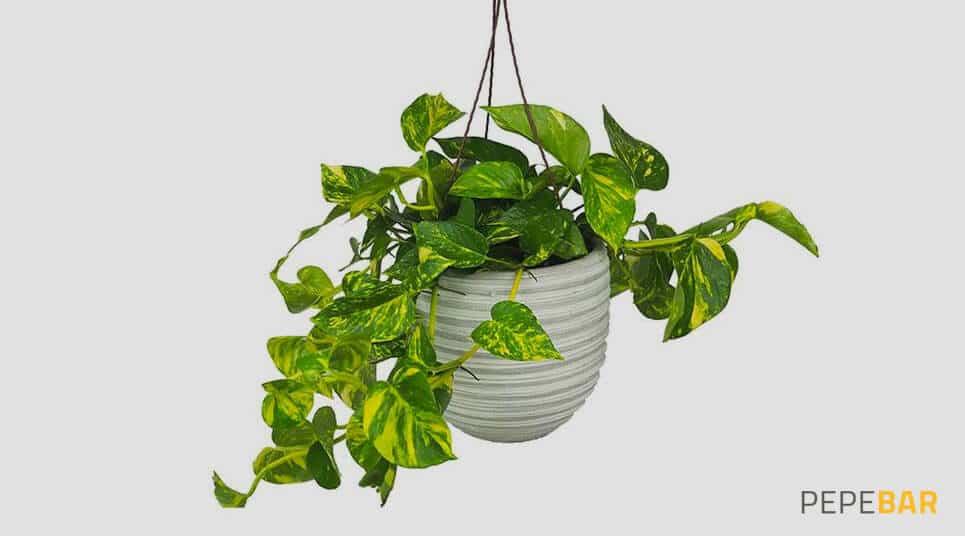 planta photo